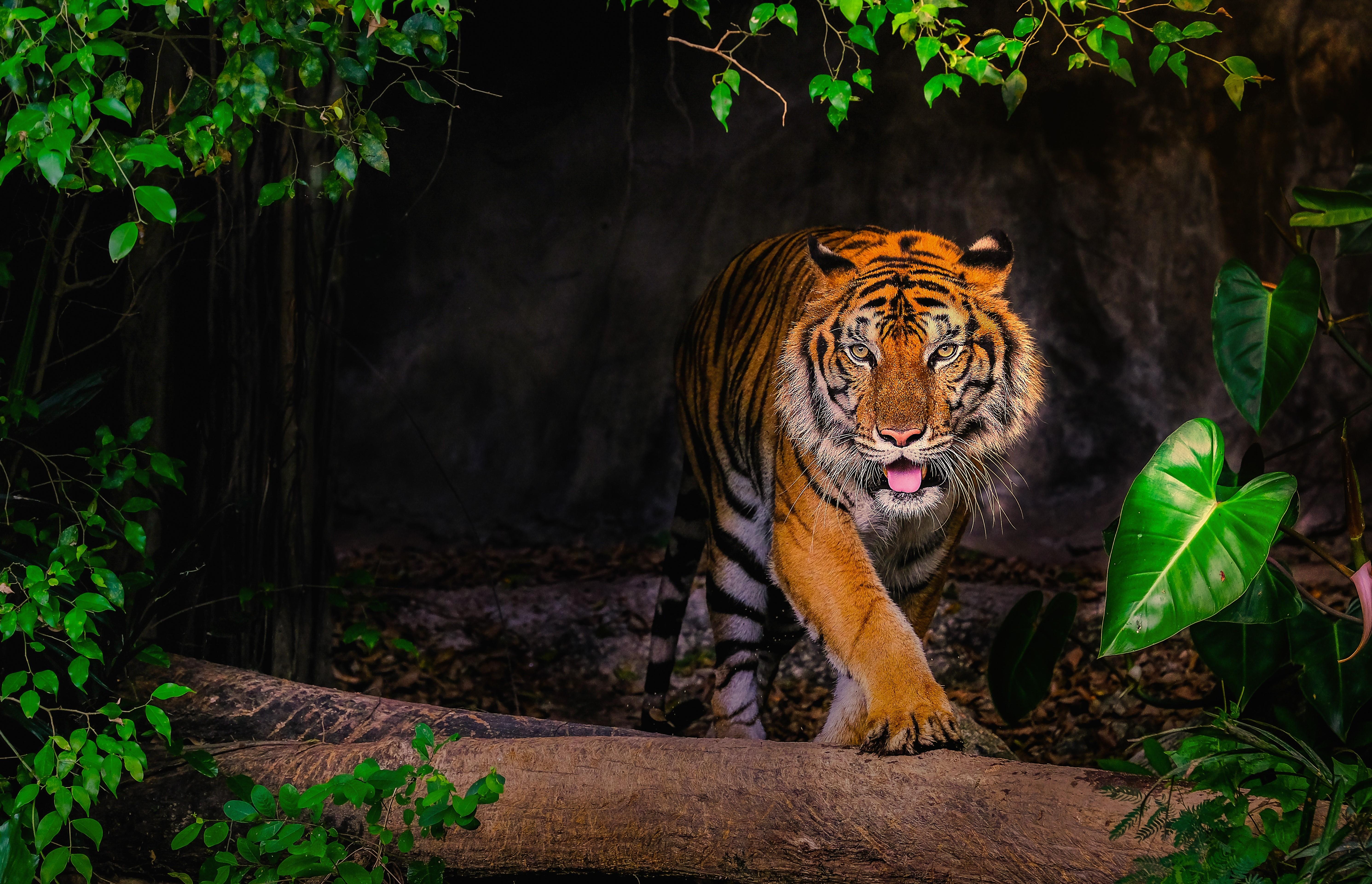Sibirischer Tiger | Dein Personal Trainer Berlin